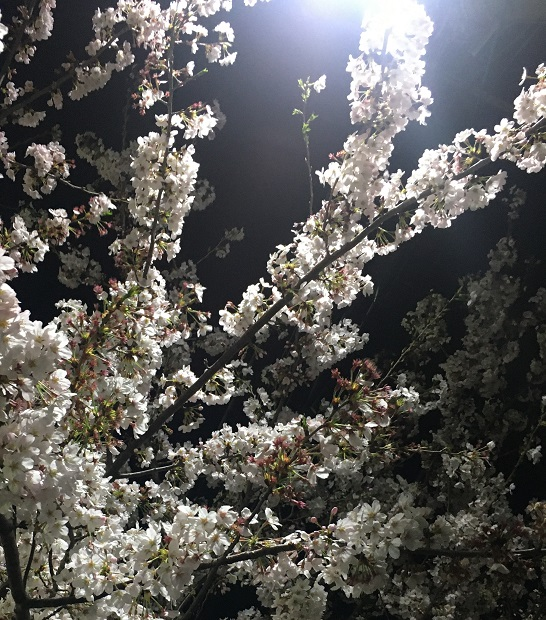夜桜、夜に葉桜へ.JPG